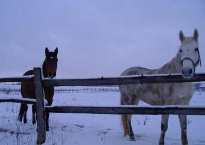 Konji zimi